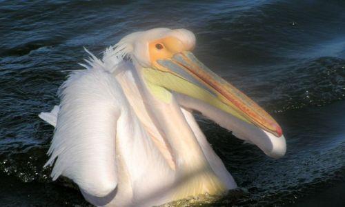NAMIBIA / brak / zatoka Walvis Bay / Pelikan różowy