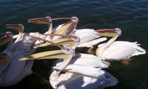 NAMIBIA / brak / zatoka Walvis Bay / Jeść, jeść!!