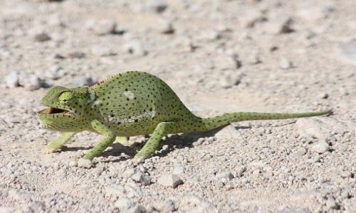 Zdjecie NAMIBIA / - / Etosha National Park / Zielony potwór