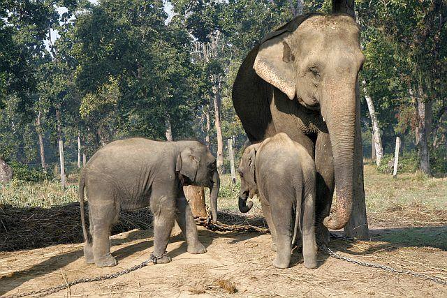 Zdjęcia: Chitwan - Sauraha, Chitwan, słonie w rządowym centrum rozmnażania słoni, NEPAL