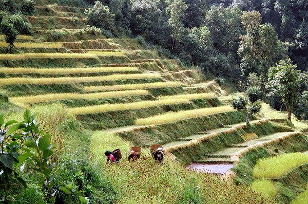 Zdj�cia: Pokara, Pola ry�owe w Nepalu, NEPAL