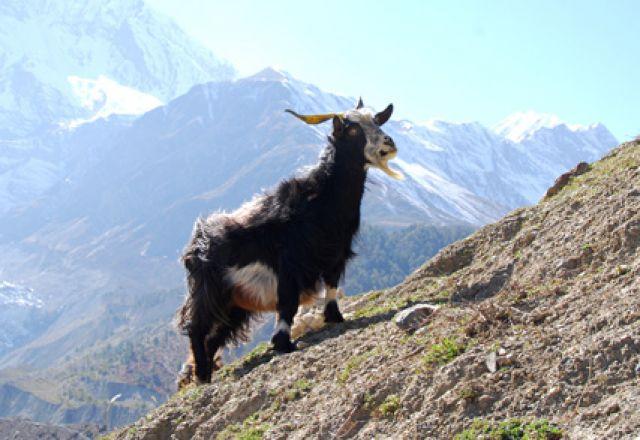 Zdjęcia: Manang , Himalaje, kozka, NEPAL