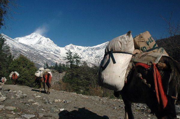 Zdjęcia: Annapurna Circuit, Annapurna Circuit, Osiołki na trasie, NEPAL