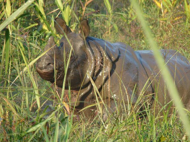 Zdjęcia: Nepal, Dolina Kathmandu, Nosorożec w Chitawan Parku, NEPAL