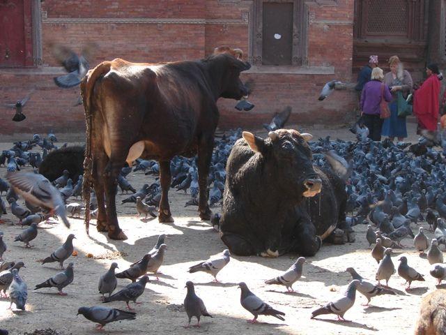 Zdjęcia: Pathan, Dolina Kathmandu, Święte krowy, NEPAL