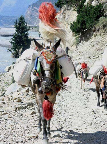 Zdj�cia: gdzie�, Jomsom, Konik jak malowany, NEPAL