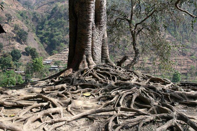 Zdjęcia: Okolice Bharawe, Z cyklu drzewa, NEPAL