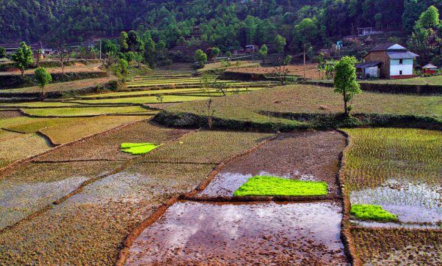 Zdjęcia: Nad rzeką TRISULI, Uprawa ryżu, NEPAL