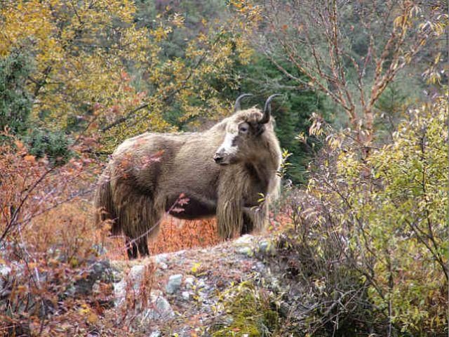Zdjęcia: Sagarmatha National Park, Himalaje, Jesienny yak, NEPAL