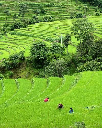Zdjęcia: Okol. Bekschishawar, Annapurna Trek, ryż, NEPAL