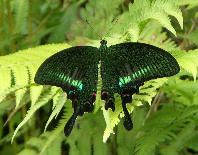 Zdjęcia: Dżungla, Annapurna Trek, Czarny motyl, NEPAL