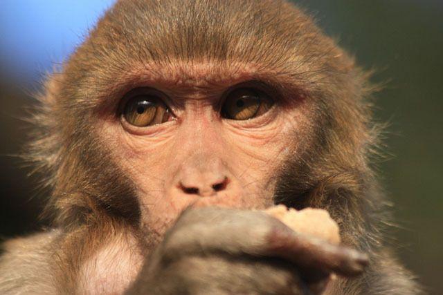Zdjęcia: Katmandu, Małpa, NEPAL