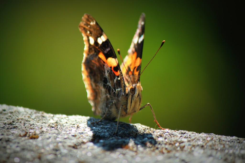 Zdjęcia: Chomrong, Himalaje, Himalajski motyl, NEPAL