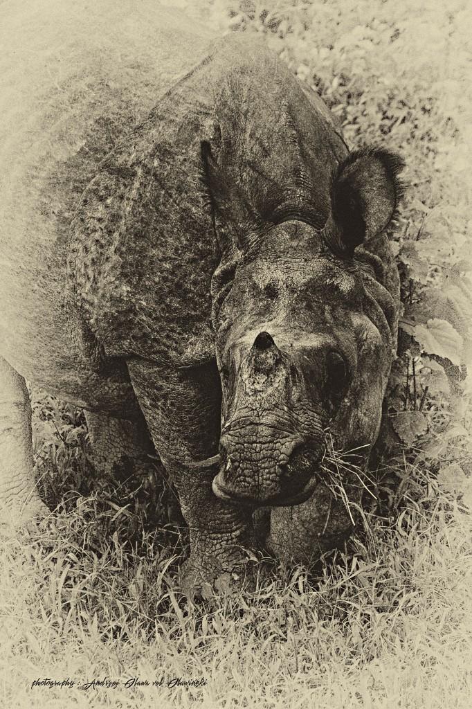 Zdjęcia: Chitwan, Chitwan, Rhino, NEPAL