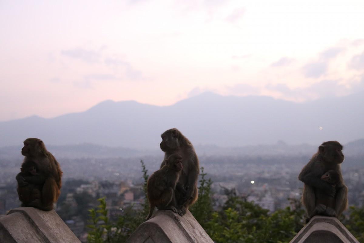 Zdjęcia: Katmandu, Katmandu, Małpy z widokiem na Himalaje, NEPAL