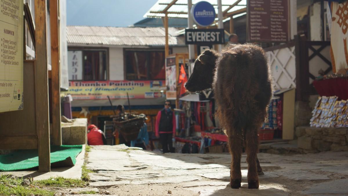 Zdjęcia: Namche Bazaar, Khumbu, Dzo, NEPAL