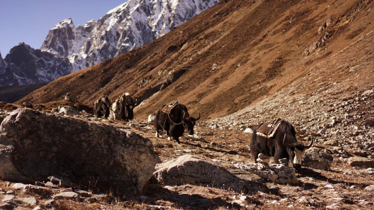 Zdjęcia: Gokyo, Khumbu, Jaki na szlaku, NEPAL