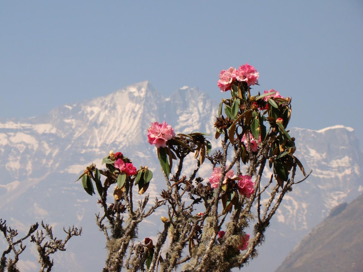 Zdjęcia: Tengboche, Himalaje, Rododendron, NEPAL