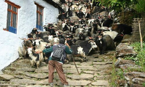 NEPAL / Annapurna  / w drodze do Ghorepani / Kozy