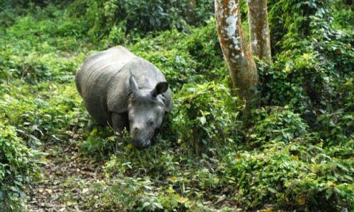 Zdjęcie NEPAL / Chitwan / Chitwan - Sauraha / Nosorożec