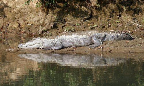 NEPAL / Chitwan / Chitwan - Sauraha / krokodyl