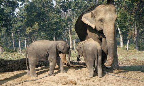 Zdjęcie NEPAL / Chitwan / Chitwan - Sauraha / słonie w rządowym centrum rozmnażania słoni