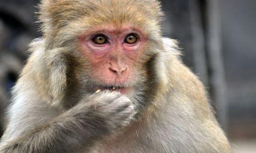 Zdjecie NEPAL / Kathmandu / Swayambhunath / Małpka v 2