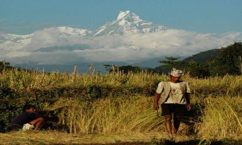 Zdjecie NEPAL / - / Na zachód od Pokhary / zbiory ryżu