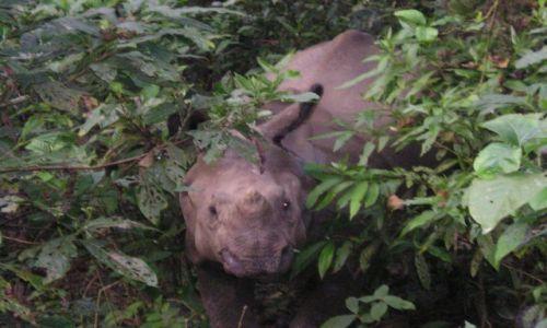 Zdjęcie NEPAL / Zbocza pasma himalajskiego Siwalik / Royal Chitwan National Park / Atakujący nosorożec