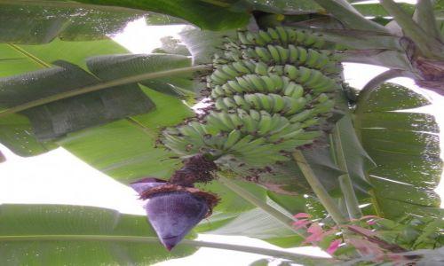 Zdjęcie NEPAL / - / Nepal / Kwitnący banananowiec