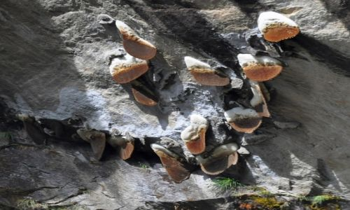 Zdjecie NEPAL / Dolina Langtang / dziki miodzik / Nepalski miód
