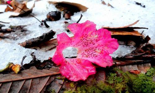 NEPAL / Kaski / W drodze na Mardi Himal Base Camp / Kwiat rododendronu