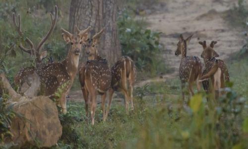 Zdjecie NEPAL / Chitwan NP / Chitwan / Wrodzona elegancja