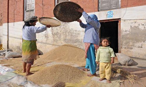 Zdjecie NEPAL / Dolina Katmandu / Bhaktapur / Żniwa