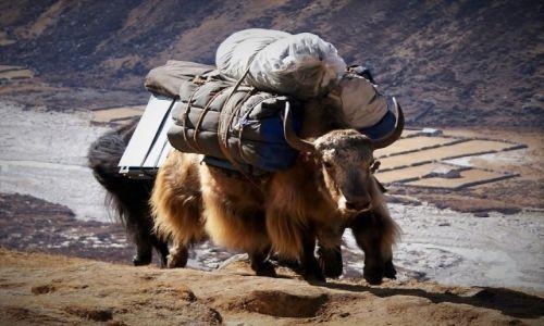 Zdjęcie NEPAL / Himalaje / Pheriche / Lekko i z gracją.