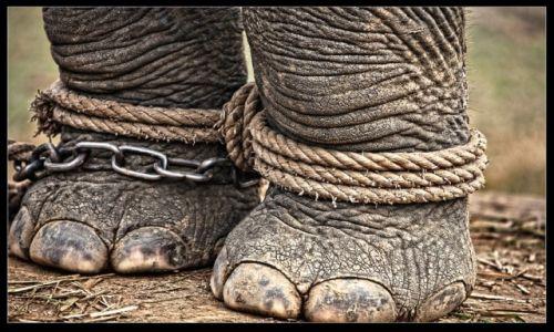 Zdjecie NEPAL / Chitwan / Chitwan / Uwięziony olbrzym