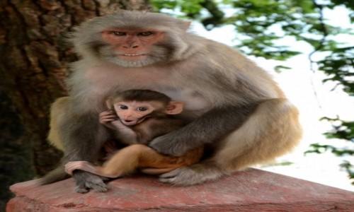 Zdjecie NEPAL / Kathmandu / Swayambunath - Świątynia Małp / Tata najważniejszy:)