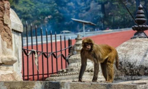 Zdjęcie NEPAL / Katmandu / Świątynia małp / świątynia małp