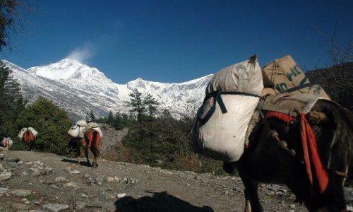 NEPAL / Annapurna Circuit / Annapurna Circuit / Osiołki na trasie