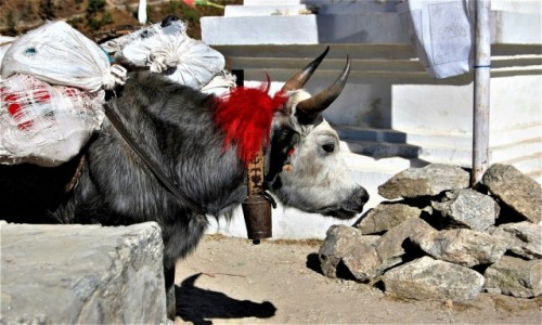 NEPAL / Himalaje, Sagarmatha Himal / Okolice Khyangjuma / Pani yakowa