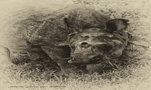 Zdjecie NEPAL / Chitwan / Chitwan / Rhino
