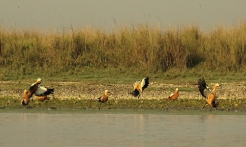 NEPAL / Royal Chitwan National Park / nad rzeką Rapti / Kaczuchy