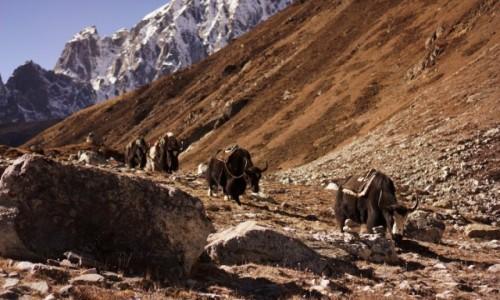 Zdjecie NEPAL / Khumbu / Gokyo / Jaki na szlaku