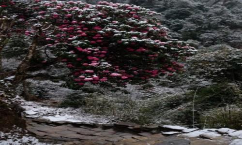 Zdjęcie NEPAL / Ghorepani / Ghorepani / Rododendrony w śniegu