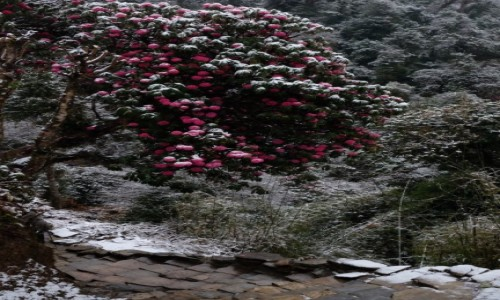 Zdjecie NEPAL / Ghorepani / Ghorepani / Rododendrony w śniegu