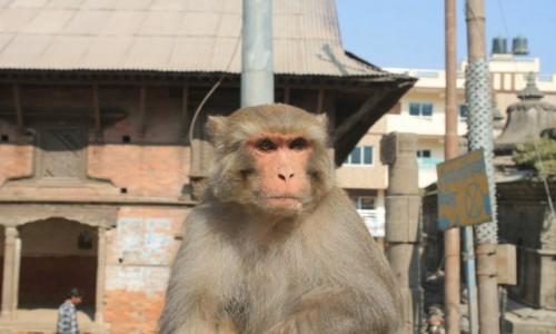 Zdjecie NEPAL / Katmandu / ulica / Malpiszon
