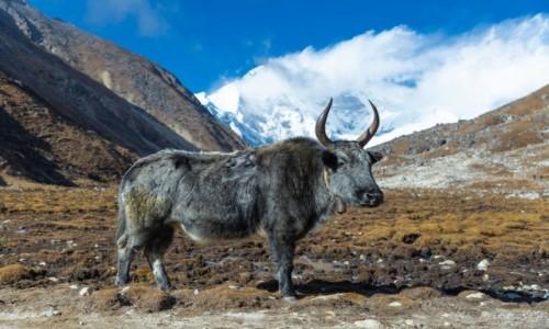Zdjecie NEPAL / Himalaje / Gokyo Lake / Yak