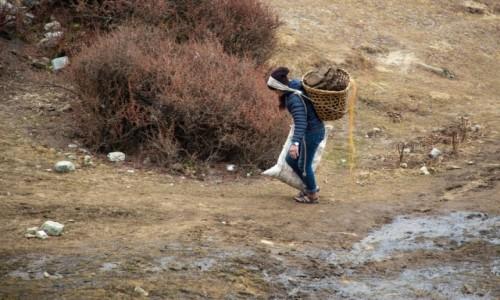 Zdjecie NEPAL / Himalaje / Machhermo / Zbiór odchodów Yaków na opał