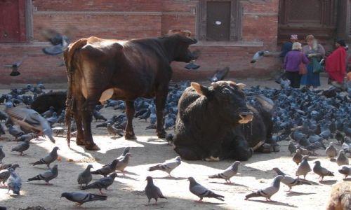 Zdjecie NEPAL / Dolina Kathmandu / Pathan / Święte krowy