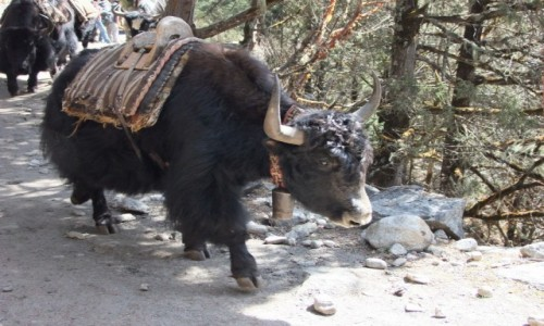 Zdjecie NEPAL / Khumbu / Himalaje / Jak